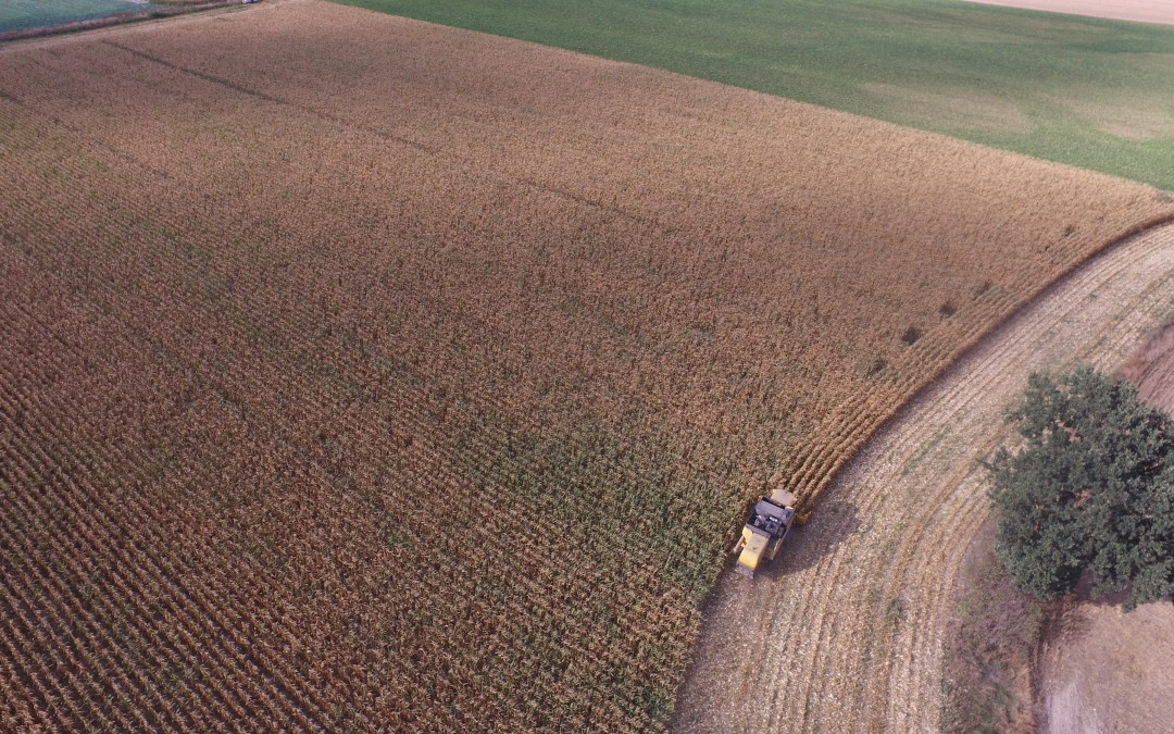 Żniwa kukurydziane