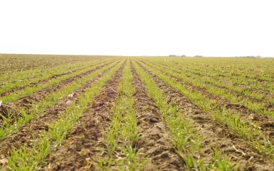 Monitoring stanowisk pszenicy sianej pasowo